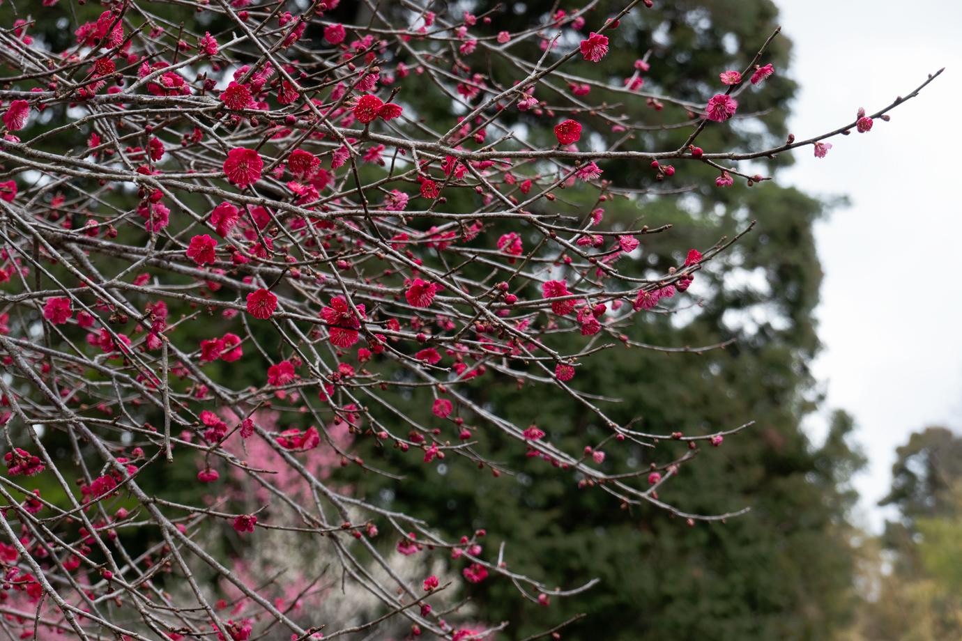 紅色の梅の花