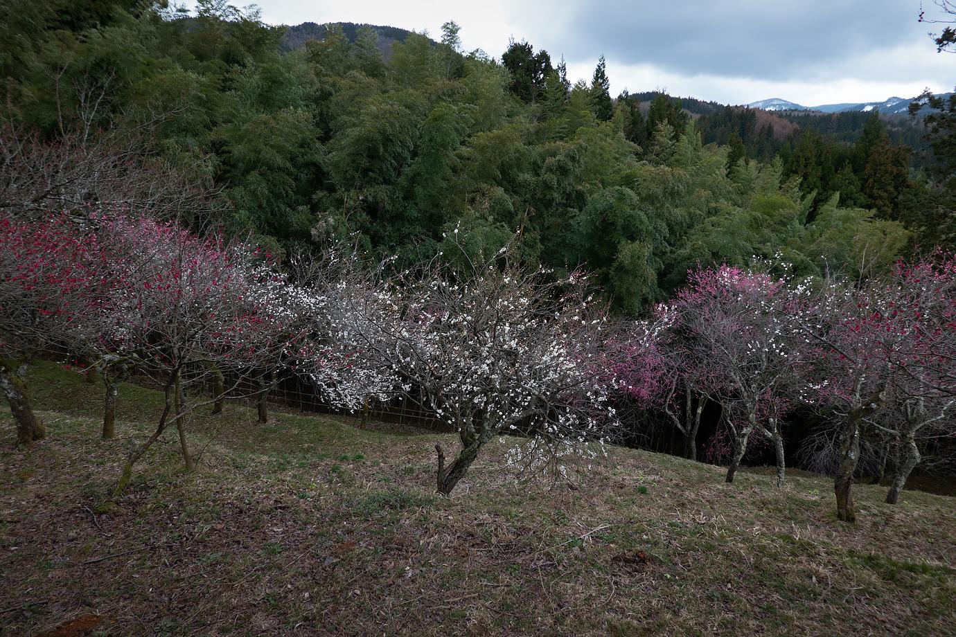 梅の木と竹林