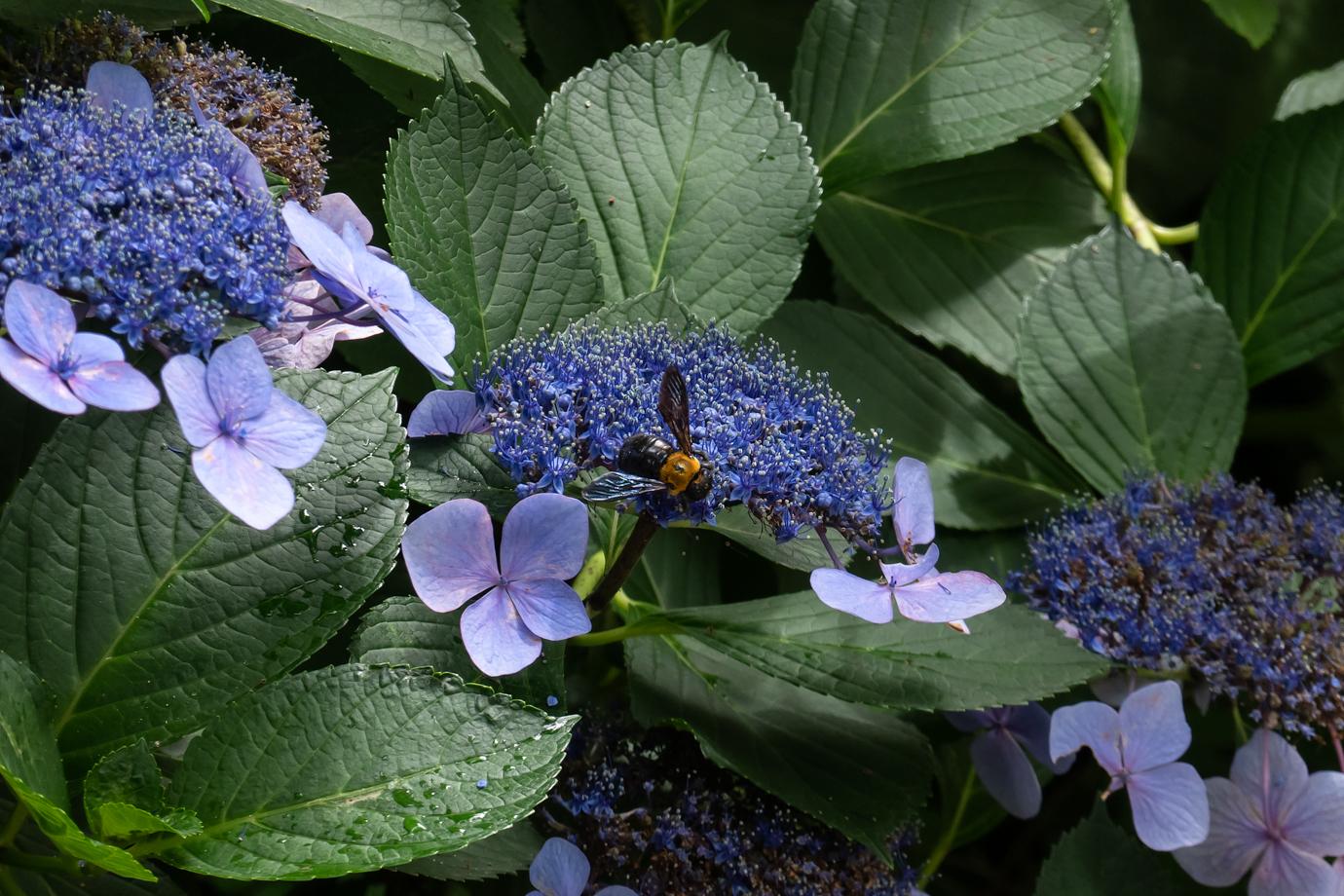 紫陽花とハチ
