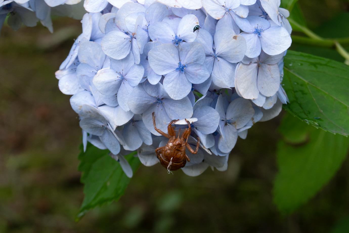 紫陽花と蝉の抜け殻