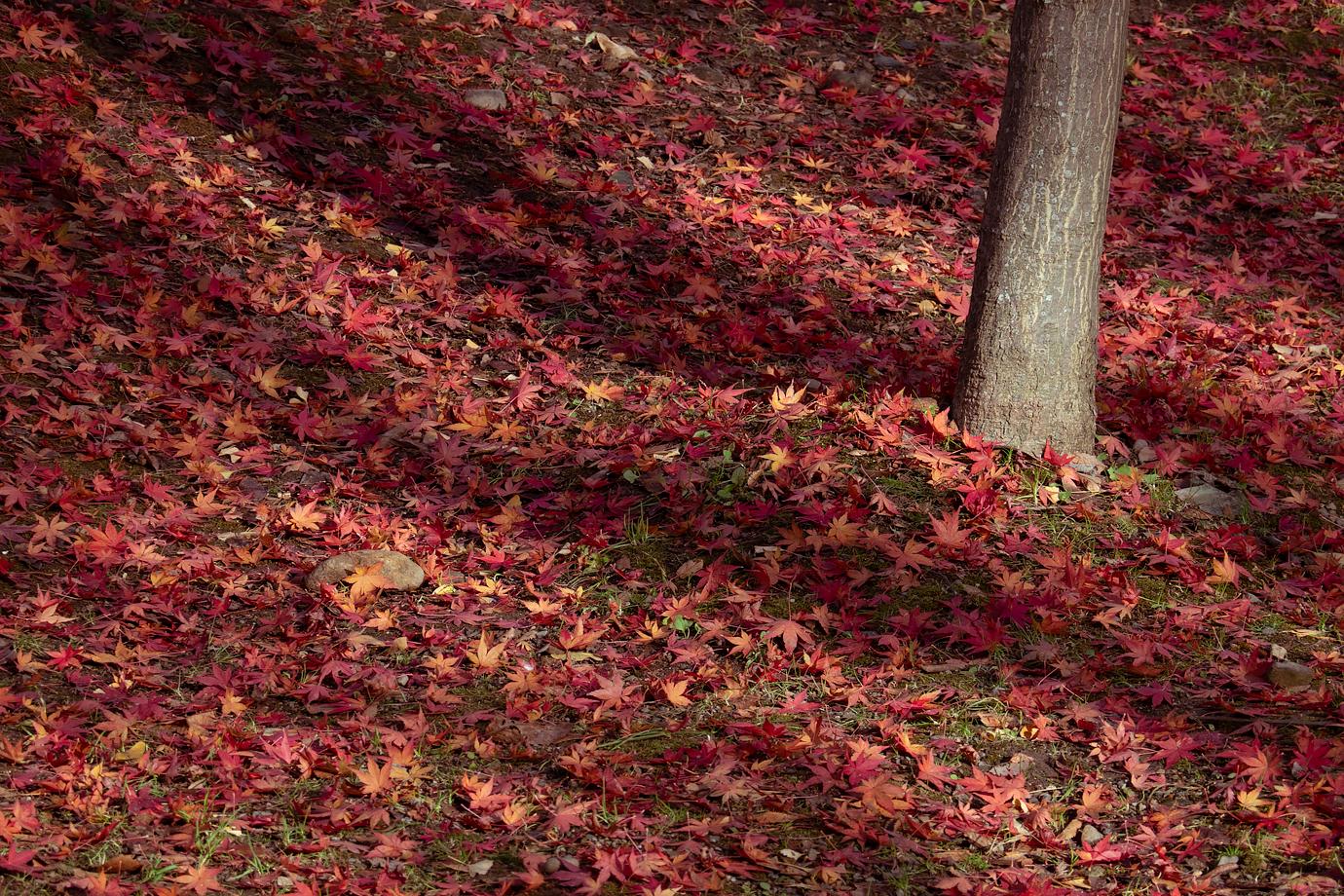 赤い落ち葉の絨毯