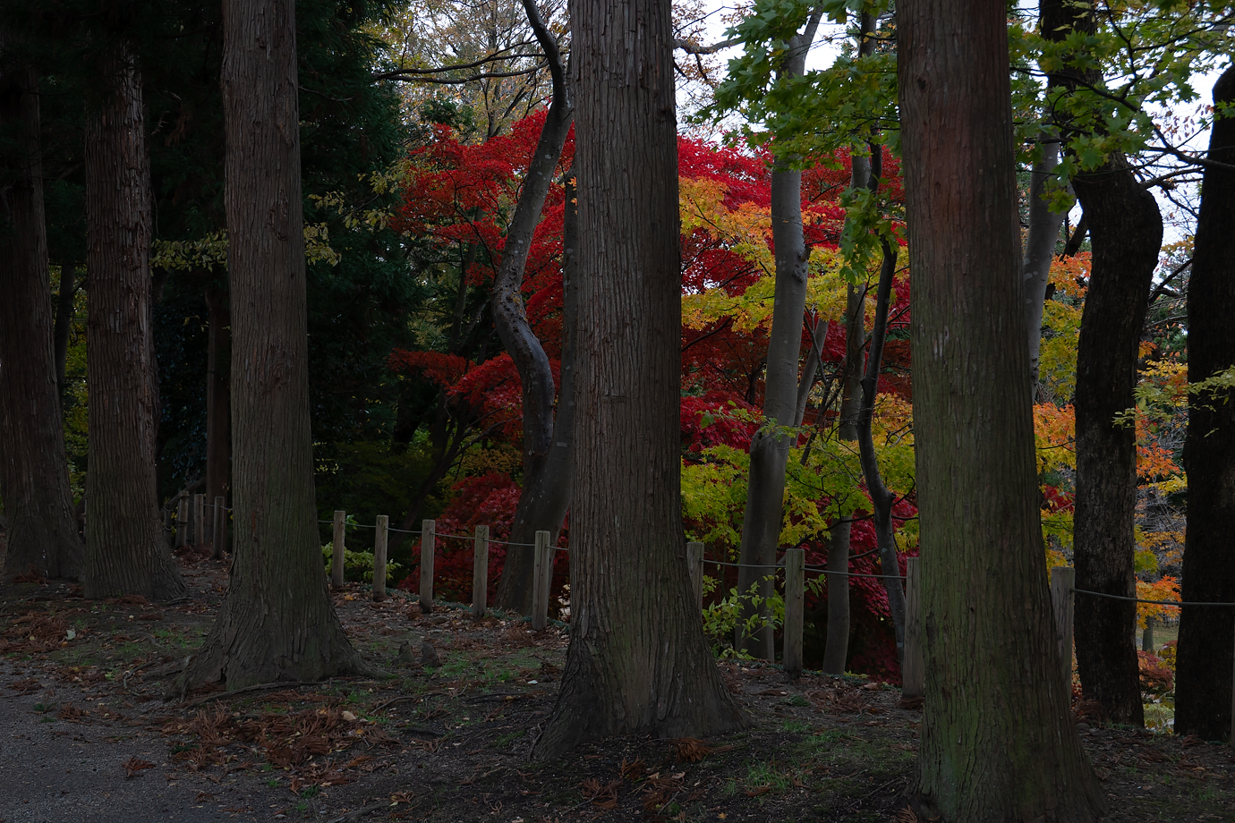 杉の木と紅葉