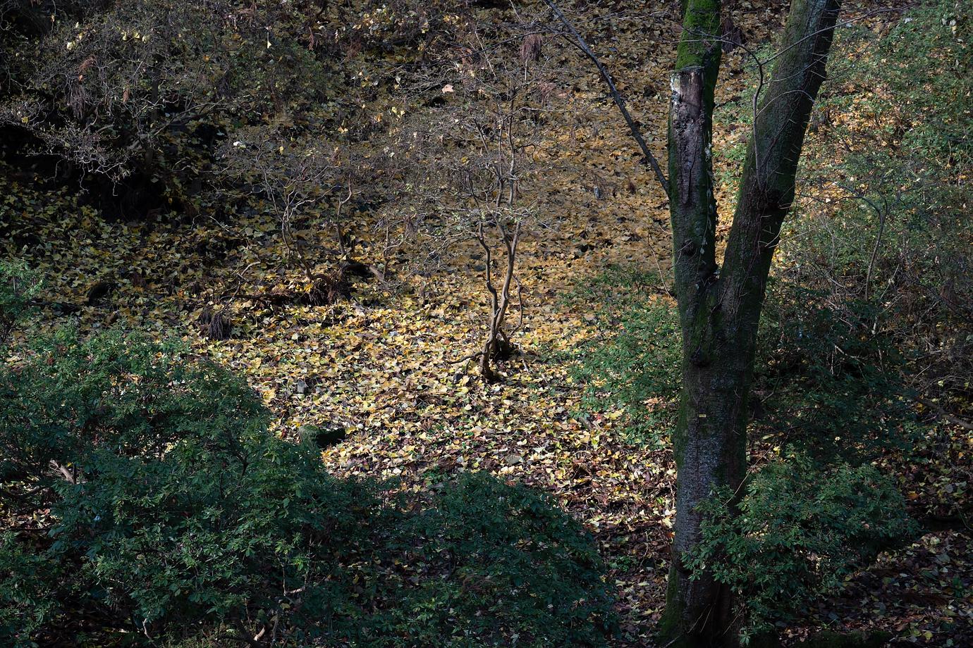 たくさんの落ち葉