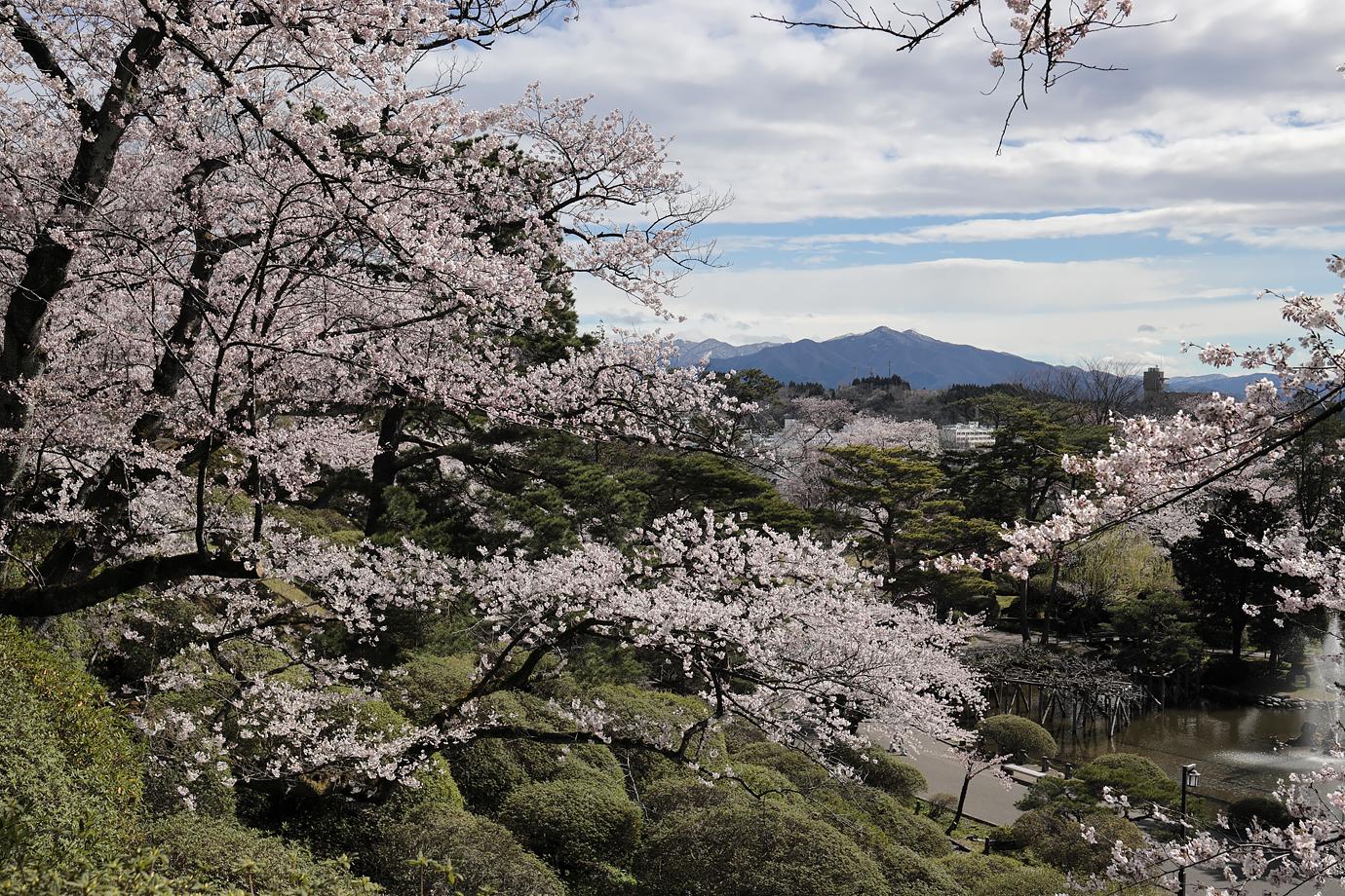 桜と千秋公園