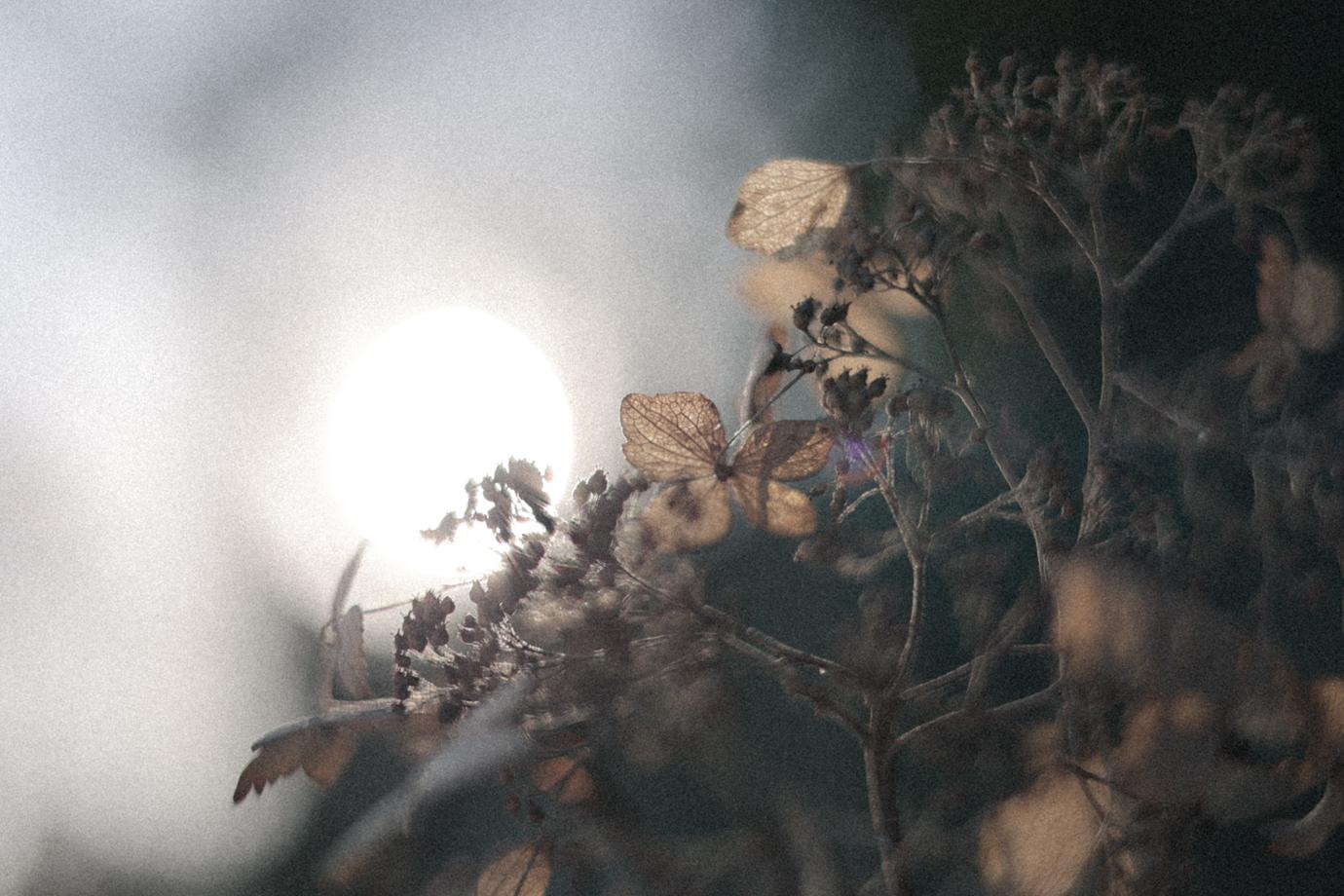 太陽と紫陽花