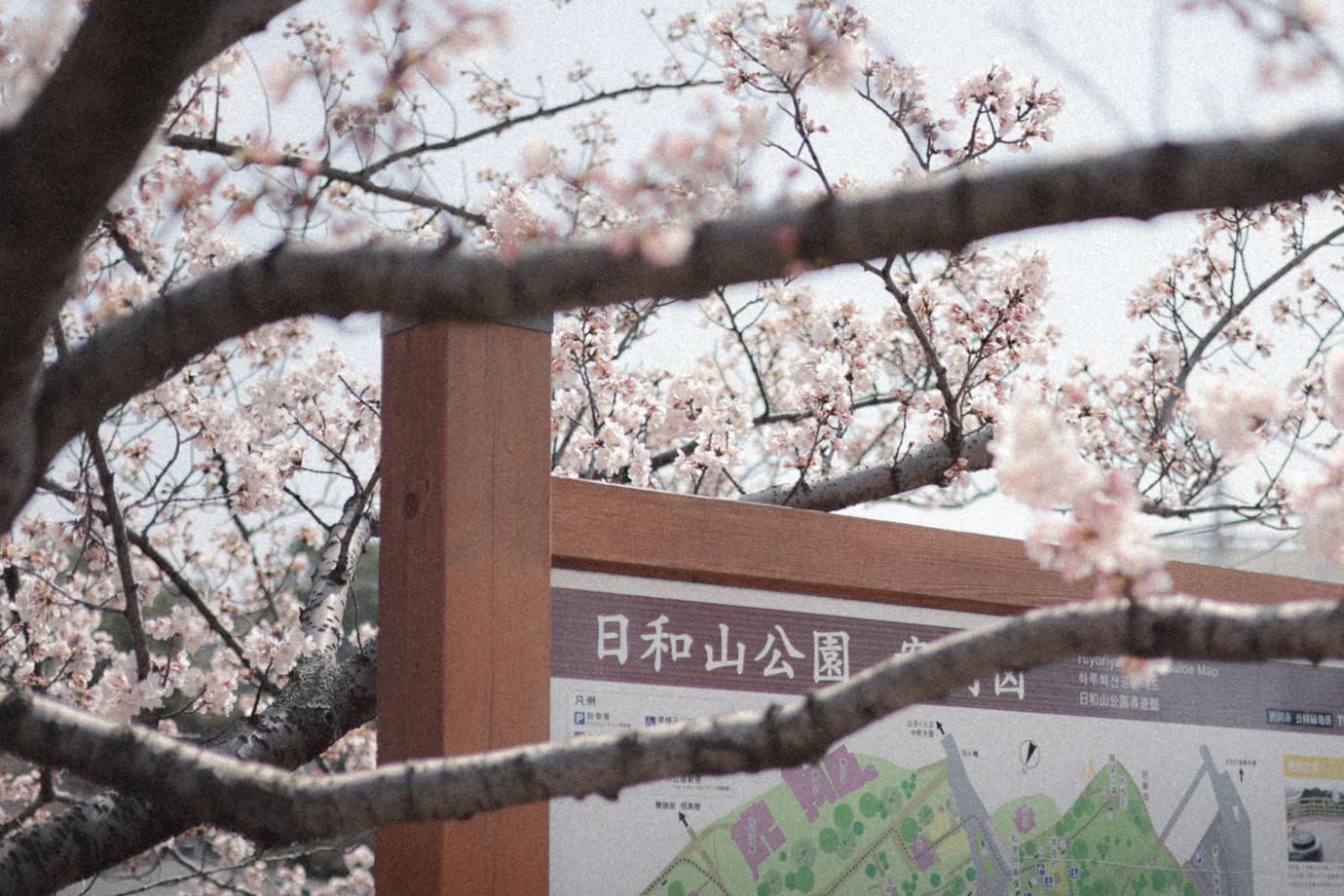 案内表示と桜
