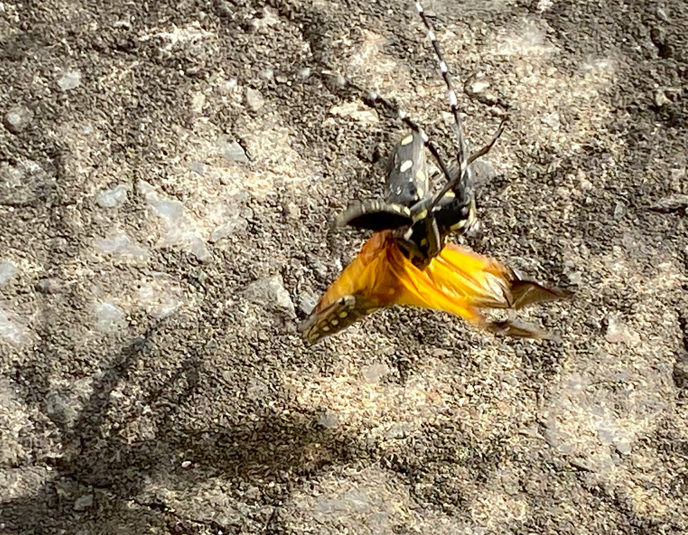 飛んでいるカミキリムシ